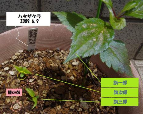 100607hatazakura