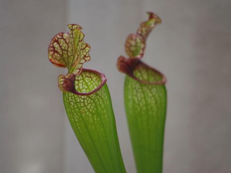 130226leucophylla