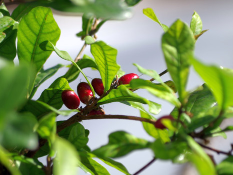 170225miracle_fruit