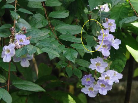 170310thunbergia_grandiflora