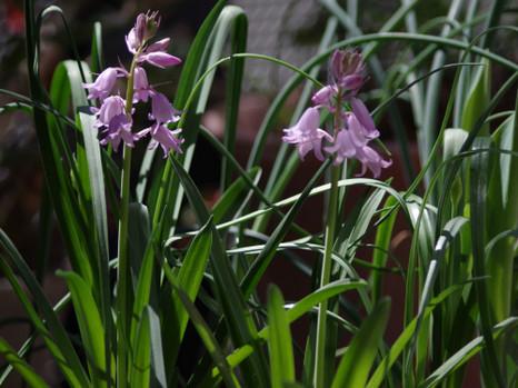 Hyacinthoides_p