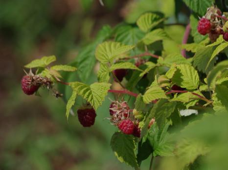 170704raspberry