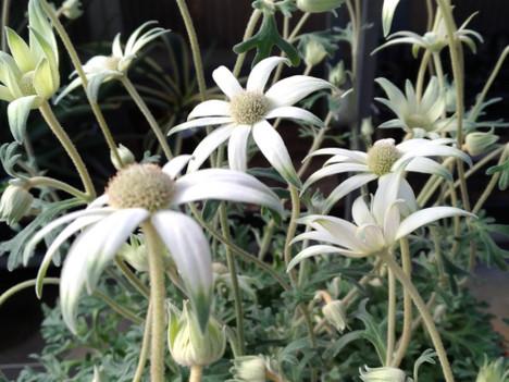 171214flannel_flower
