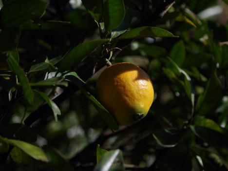 171219navel_orange