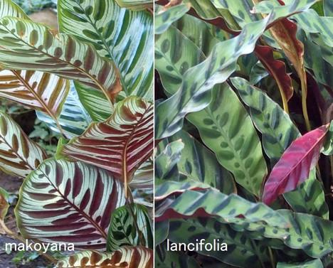 Makoyana_vs_lancifolia