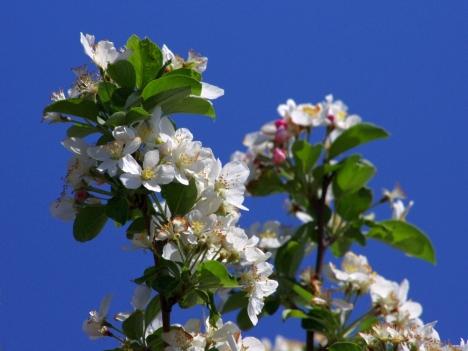 110501malus-prunifolia