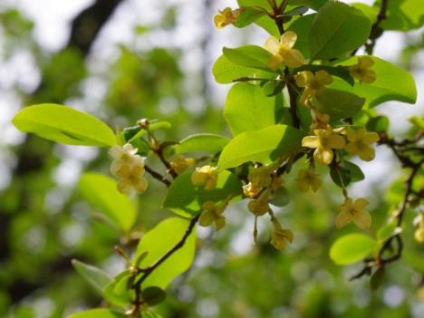 150429elaeagnus-multiflora