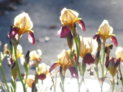 191221j_iris