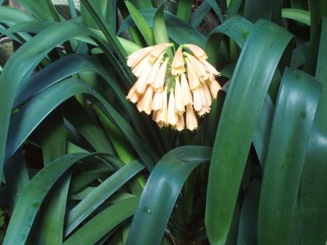 200227clivia_cyrtanthiflora1