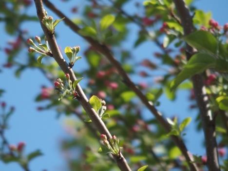 200414malus_prunifolia