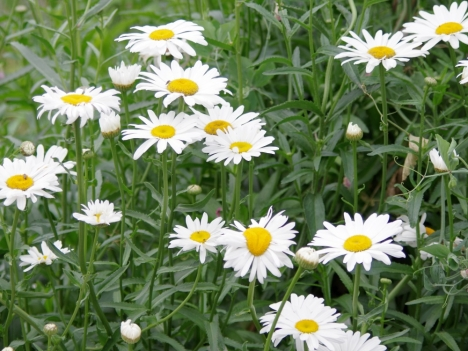 200602leucanthemumxsuperbum1