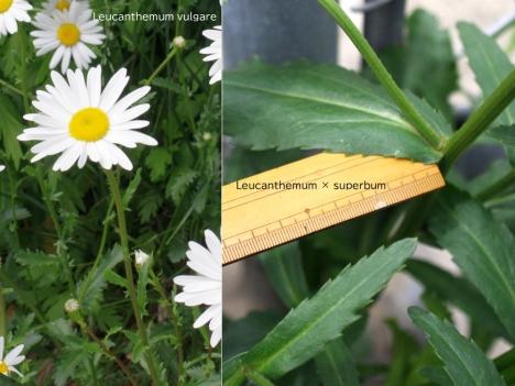 200602leucanthemumxsuperbum2