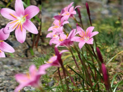 200608zephyranthes_carinata