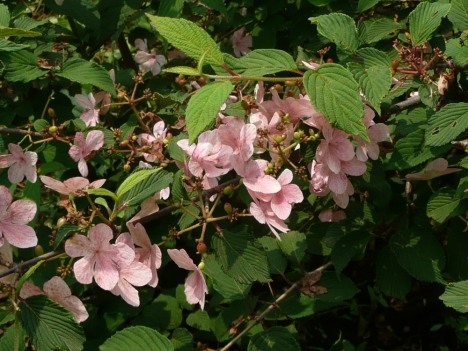 200609viburnum_pink_beauty