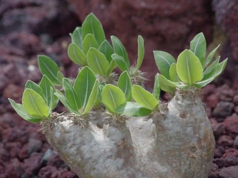 200716pachypodium_eburneum