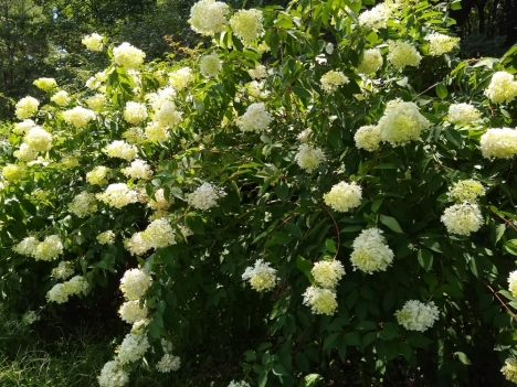 200804hydrangea_paniculata_fgrandiflora