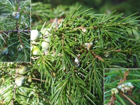201007juniperus_rigida1