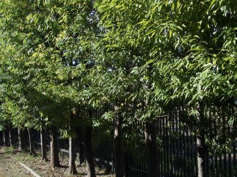 201102quercus_myrsinifolia