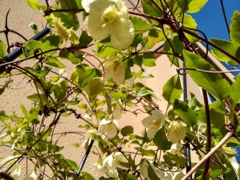 201125clematis_cirrhasa_jingle_bells
