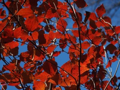 201209rhododendron_dilatatum