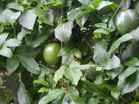 201214passiflora_edulis