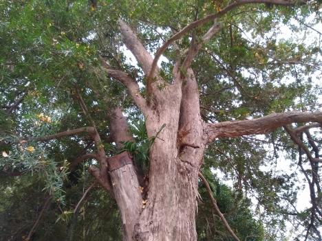 201215podocarpus_macrophyllus1