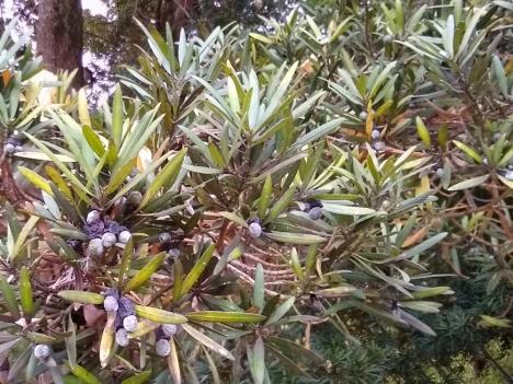 201215podocarpus_macrophyllus2