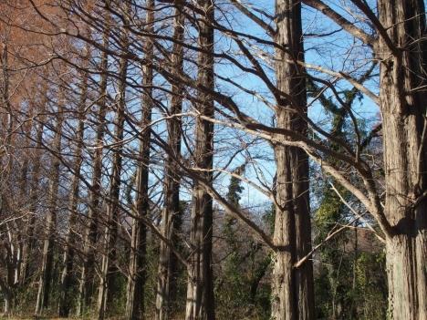 210104metasequoia