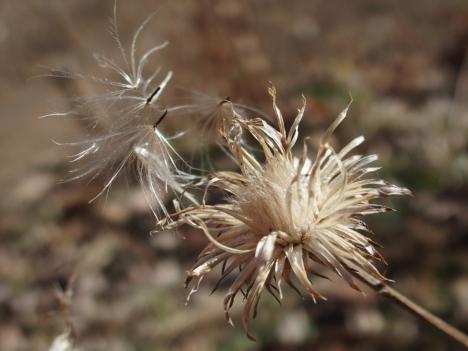 210210cirsium_oligophyllum1