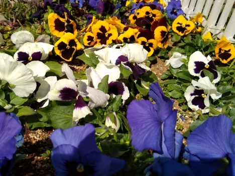 210224pansy