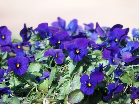 210224pansy2