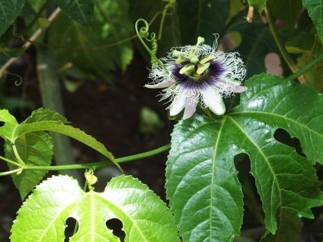 210608passiflora_edulis