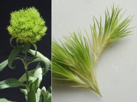 210628dianthus-barbatus-green-trick2