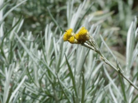 210704helichrysum-italicum