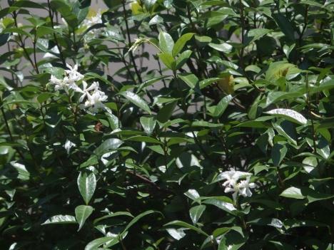 210717trachelospermum-jasminoides1