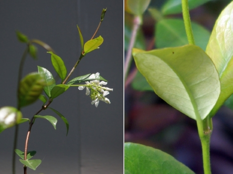 210717trachelospermum-jasminoides2