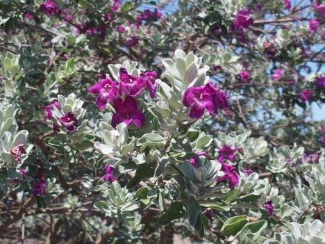 210725leucophyllum-frutescens
