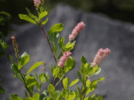 210729clethra-alnifolia