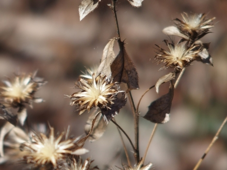 Atractylodes_japonica0205