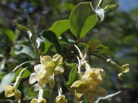Elaeagnus_multiflora_vargigantea210331