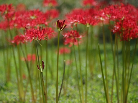 Lycoris_radiata0