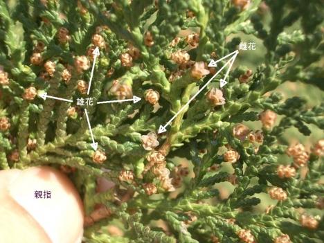 Platycladus_orientalis1