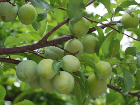 Prunus-salicina