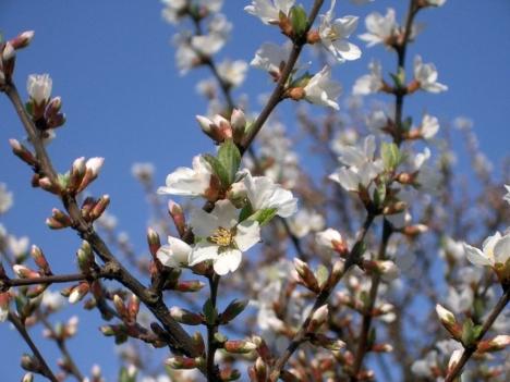 Prunus_tomentosa